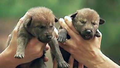 200116_wolf_pups